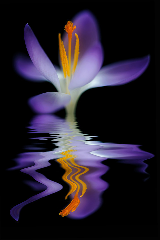 Crocus 1 - Flooded Flowers