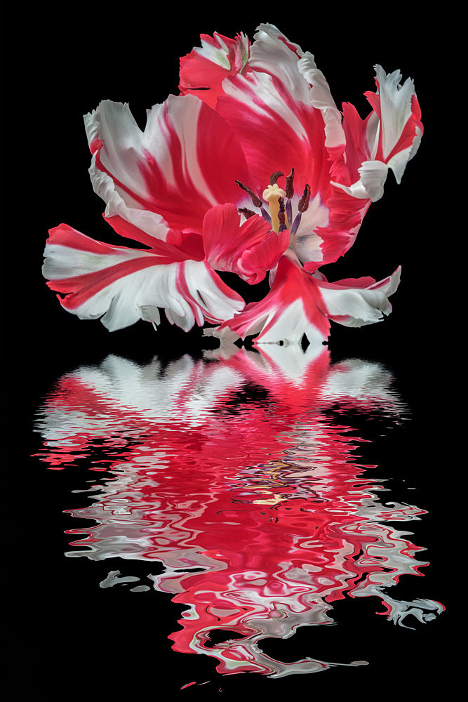Red 'n White Parrot - Flooded Flowers
