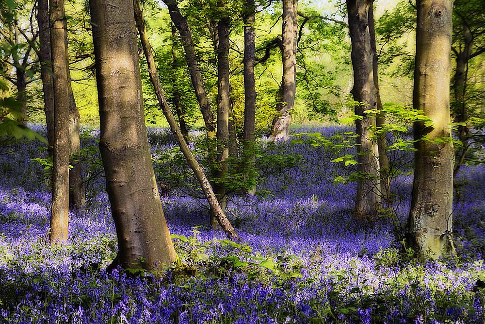 Grimescar Bluebells - The Seasons