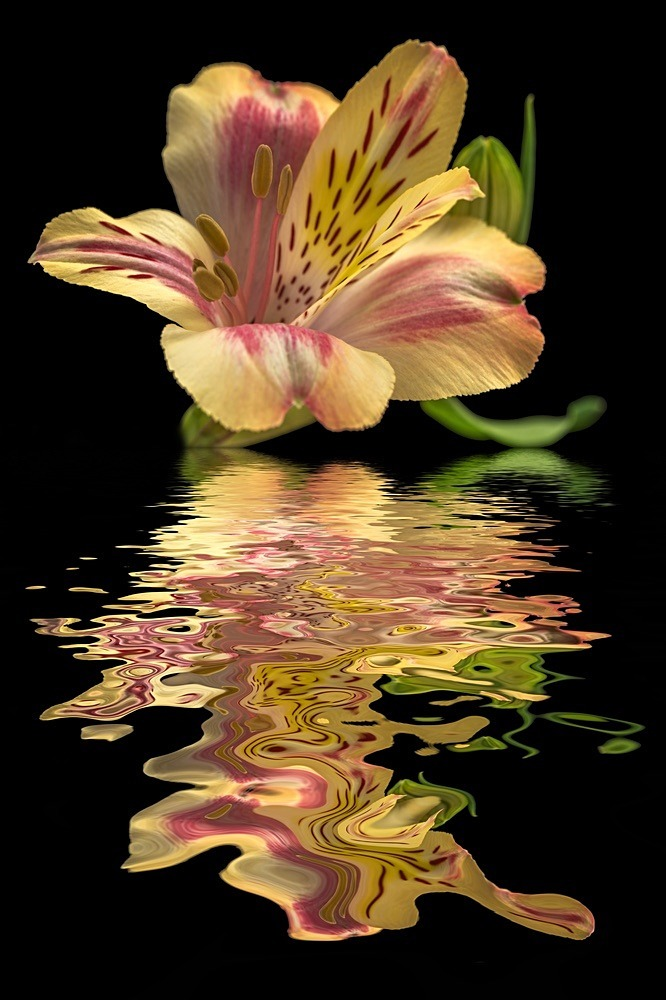 Yellow Alstro - Flooded Flowers