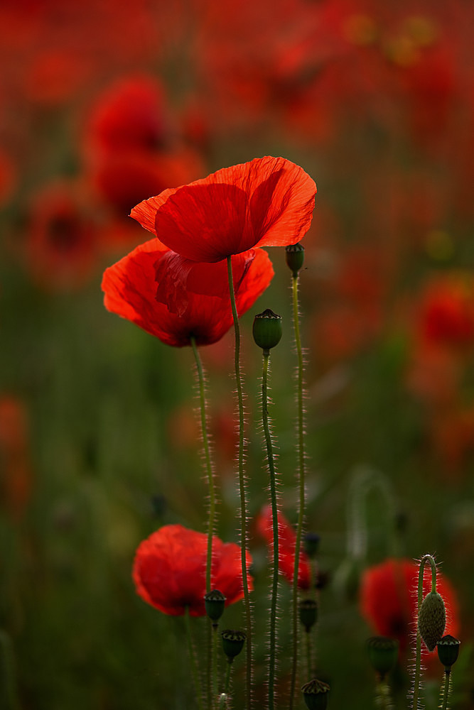 First Light - Poppies
