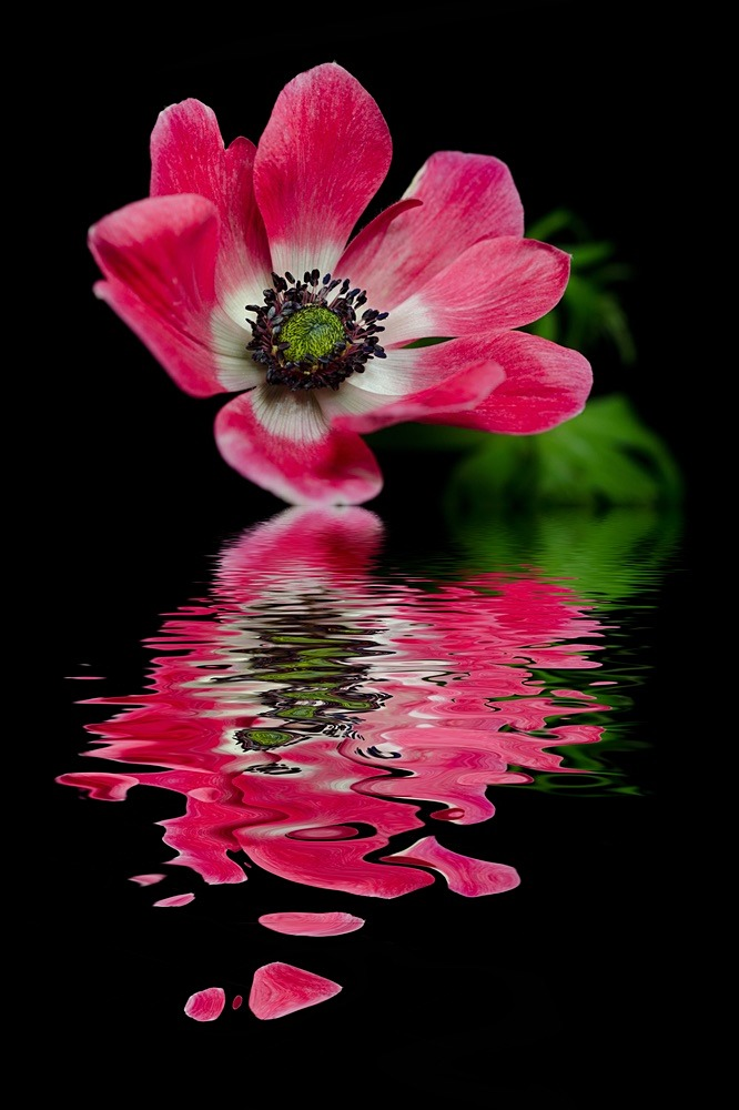 Red Anemone - SHOP