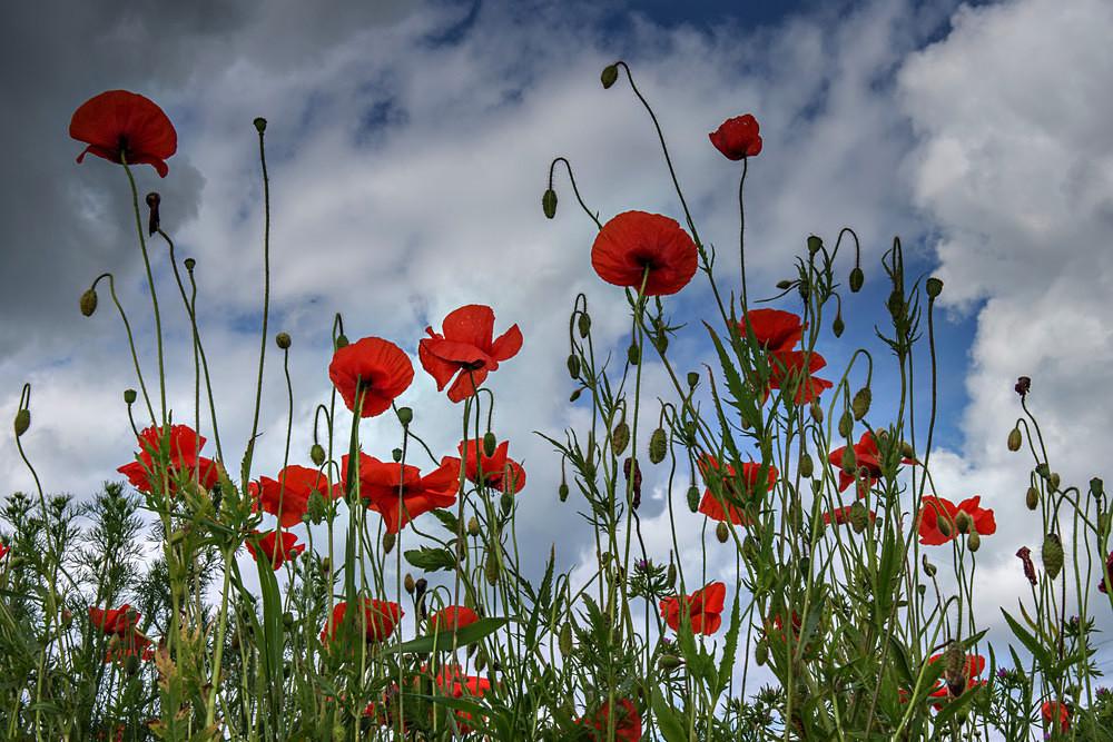 Standing Proud - Poppies