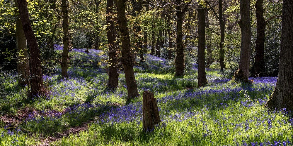 Bluebell Woods - SHOP