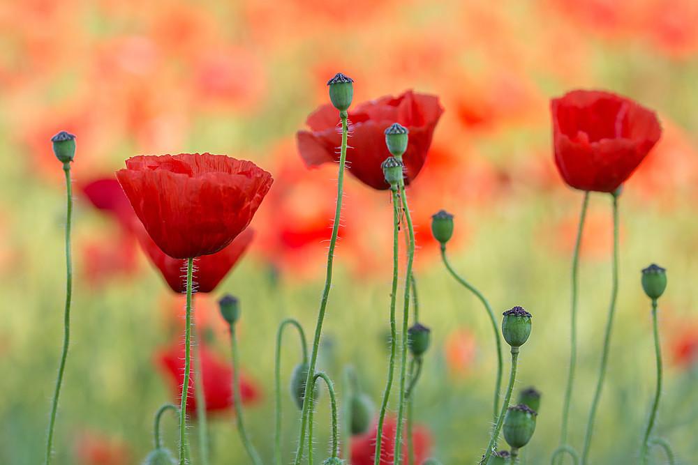 - Poppies