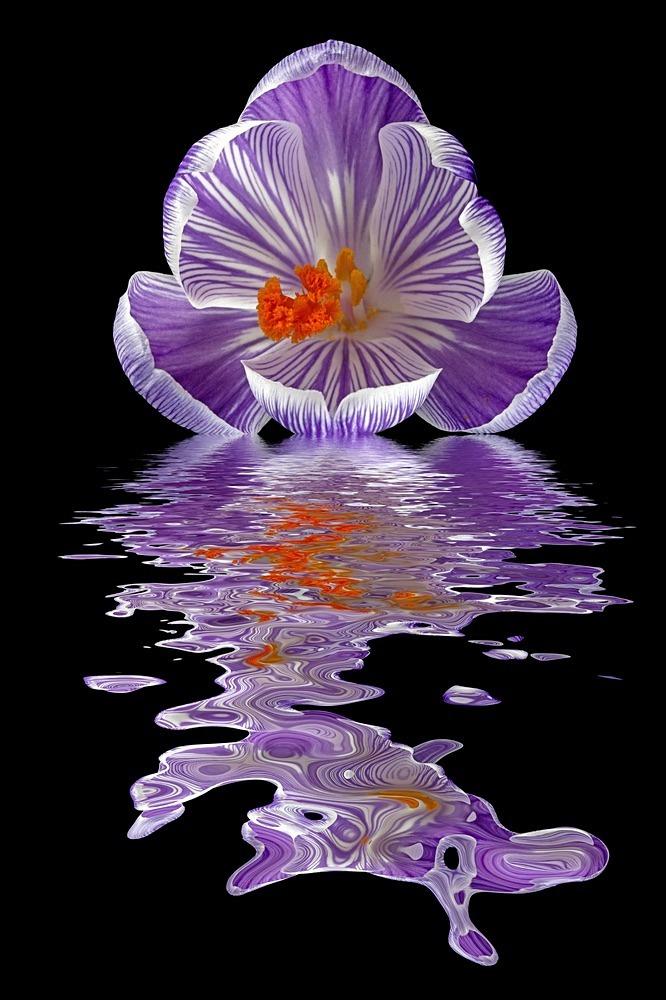 Pickwick Crocus - Flooded Flowers