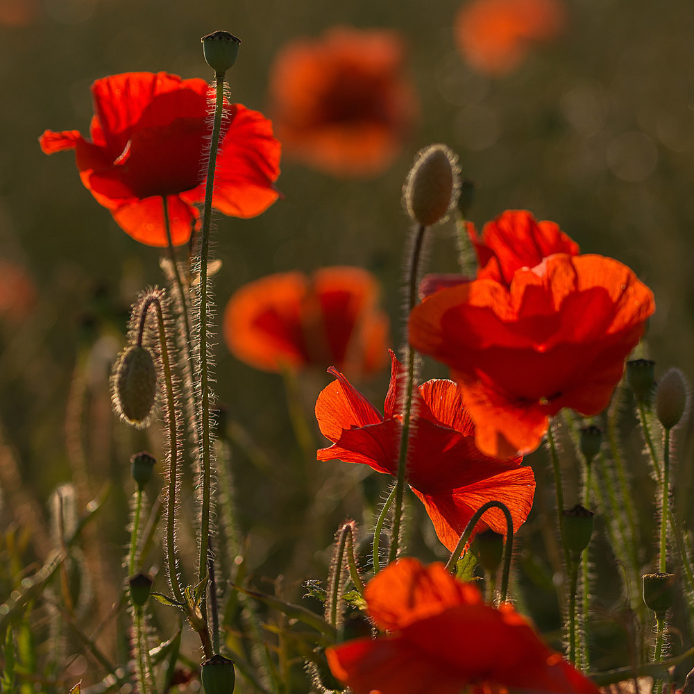 Cropped Poppies - Poppies