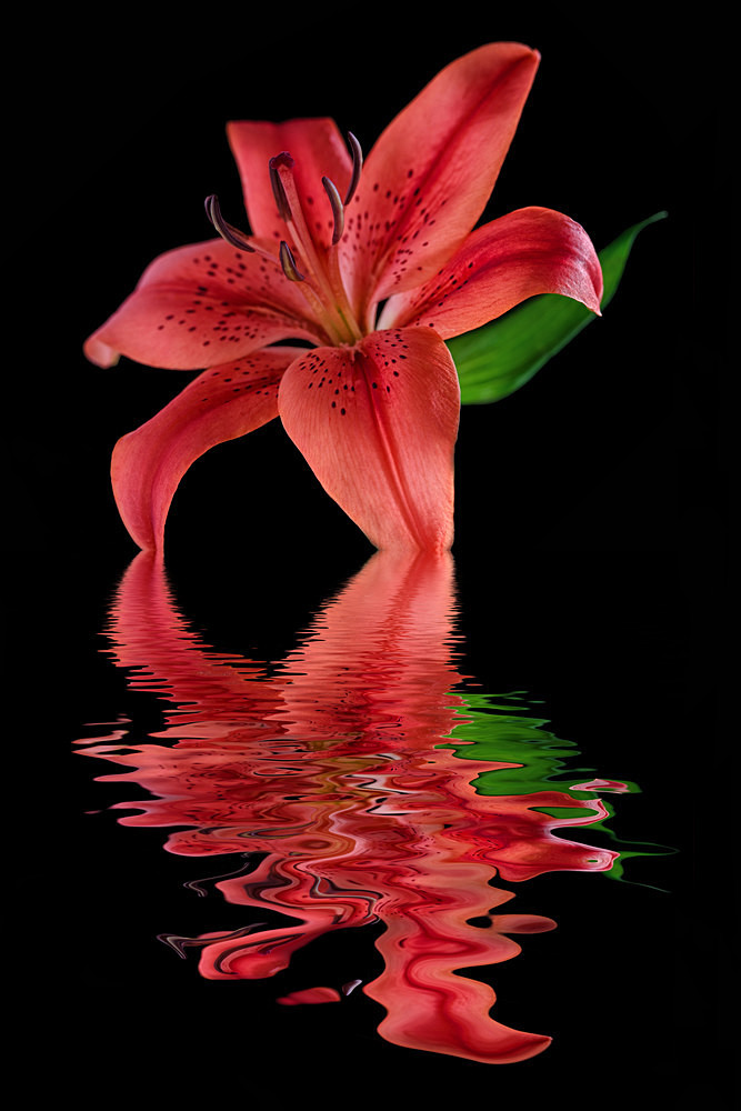 Red Lily - Flooded Flowers