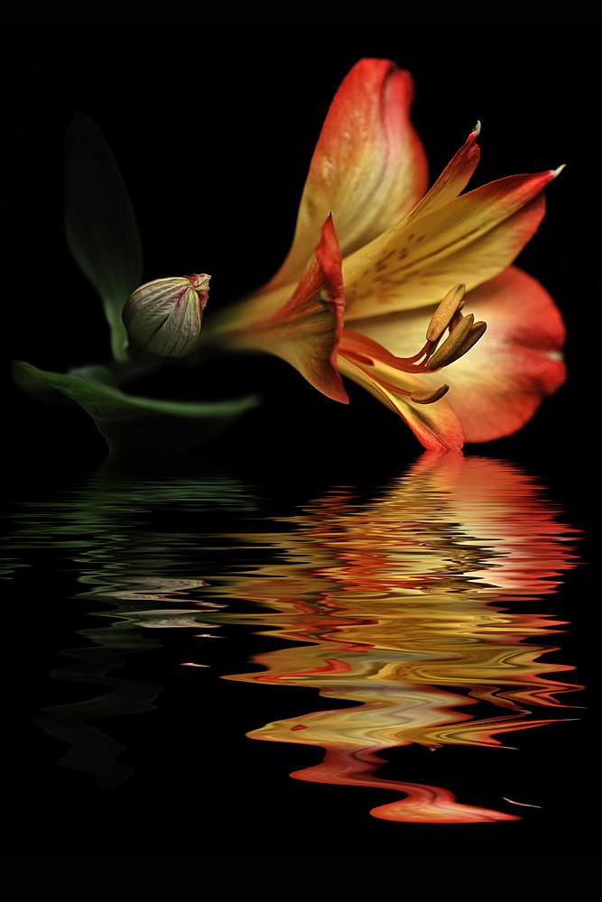 Orange Astromelia - Flooded Flowers