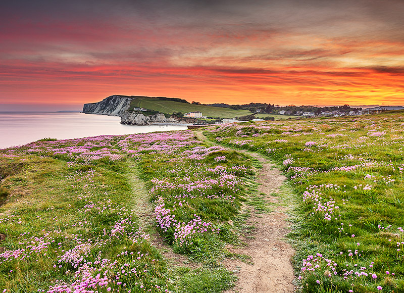 1696 Pink Thrift Freshwater Bay - Freshwater & Tennyson Down landscapes