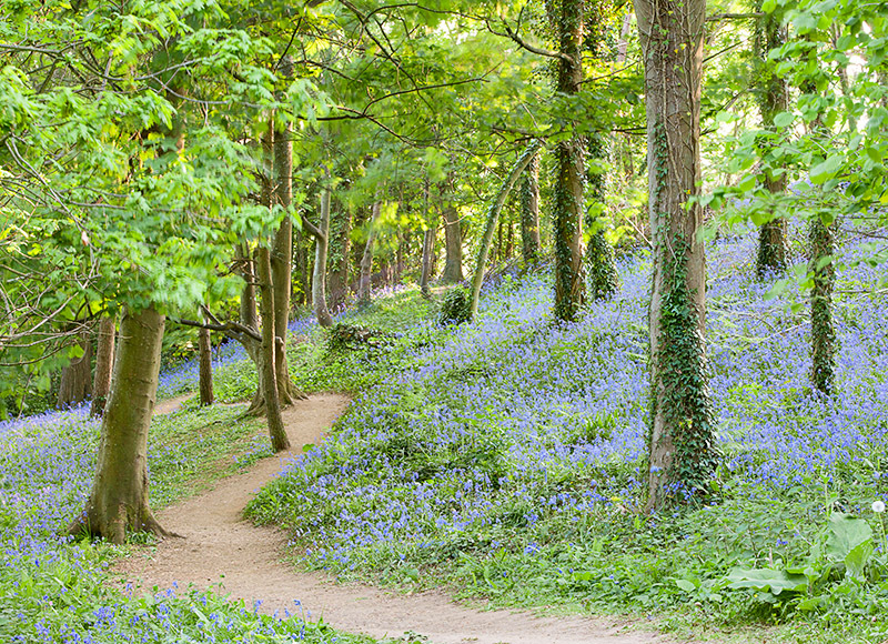 1228 Bluebells Mottistone - Compton and West Wight landscapes