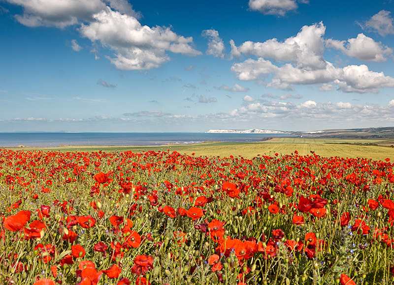 1185 Poppies Chale - Compton and West Wight landscapes