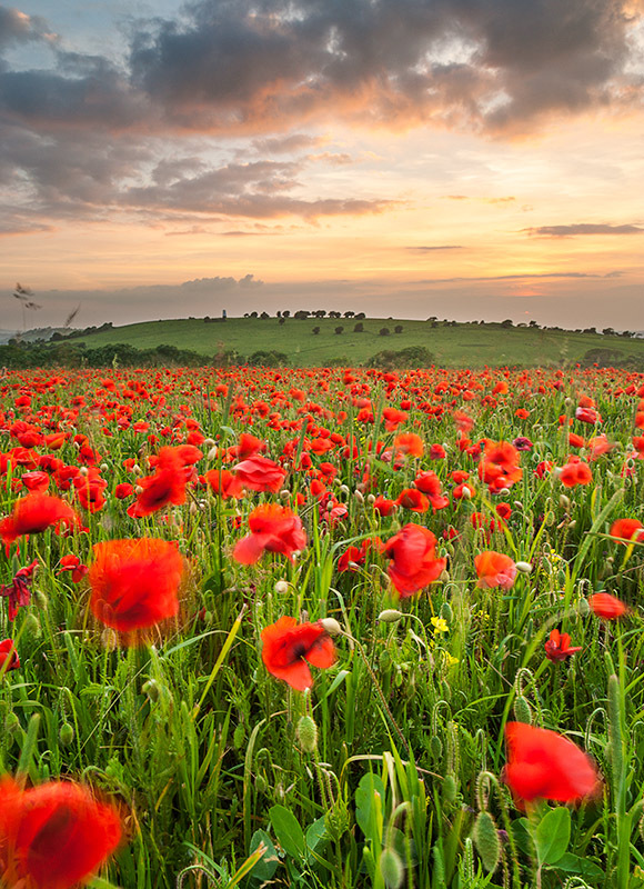 0773 Poppies Nunwell Down - Bembridge and East Wight landscape