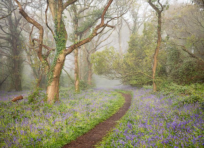 1390 Bluebells Borthwood Copse - Sandown, Shanklin and Godshill landscapes