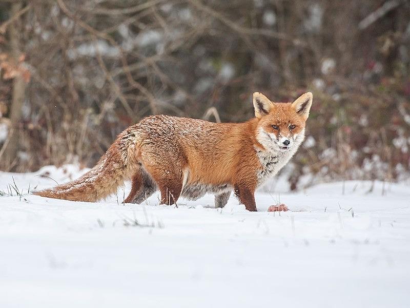 - the fox hide