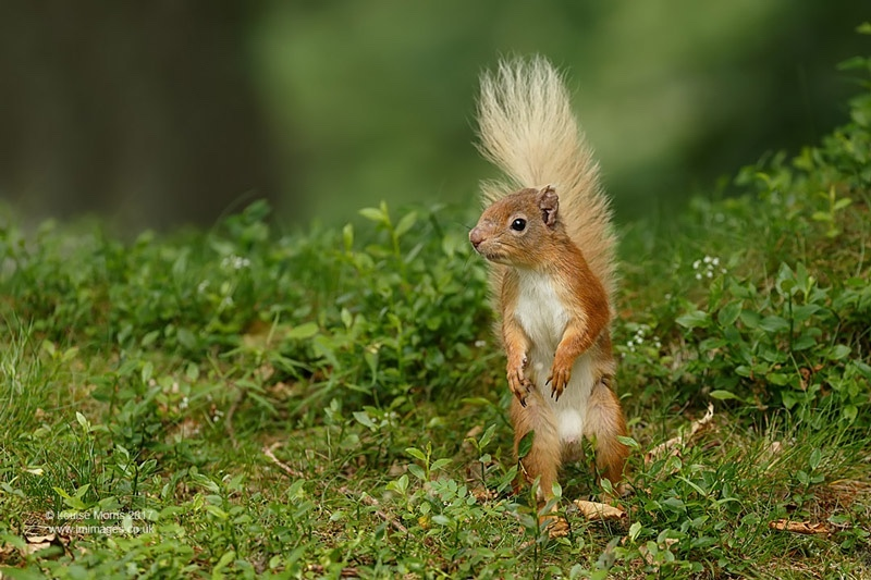 - Red Squirrels