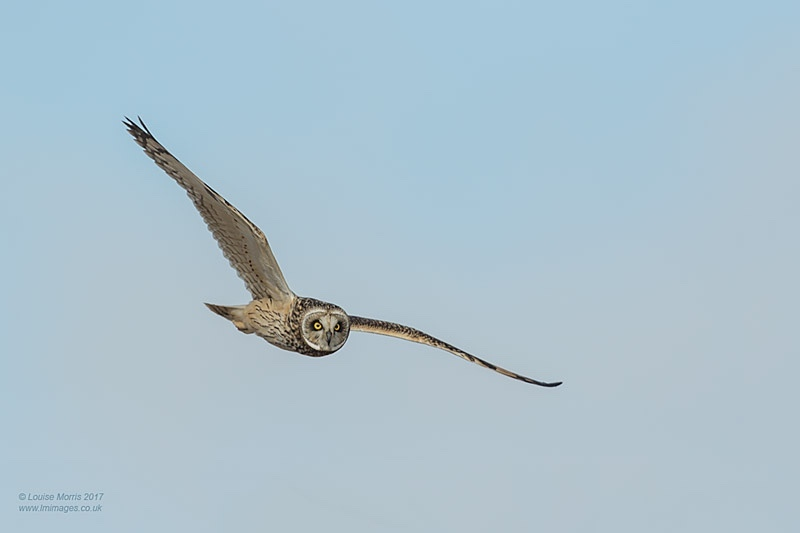 - Other Wild Owls