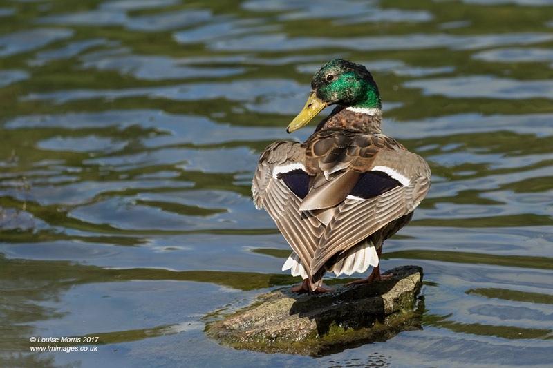 - Water Birds