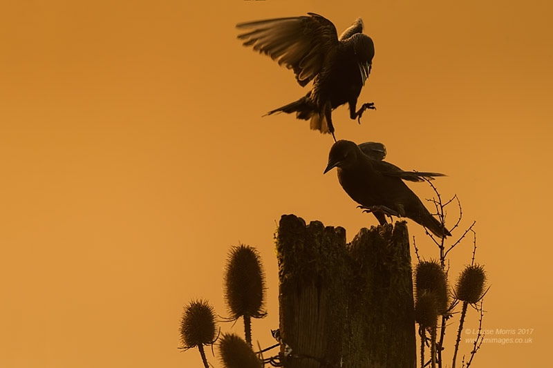 - Starlings