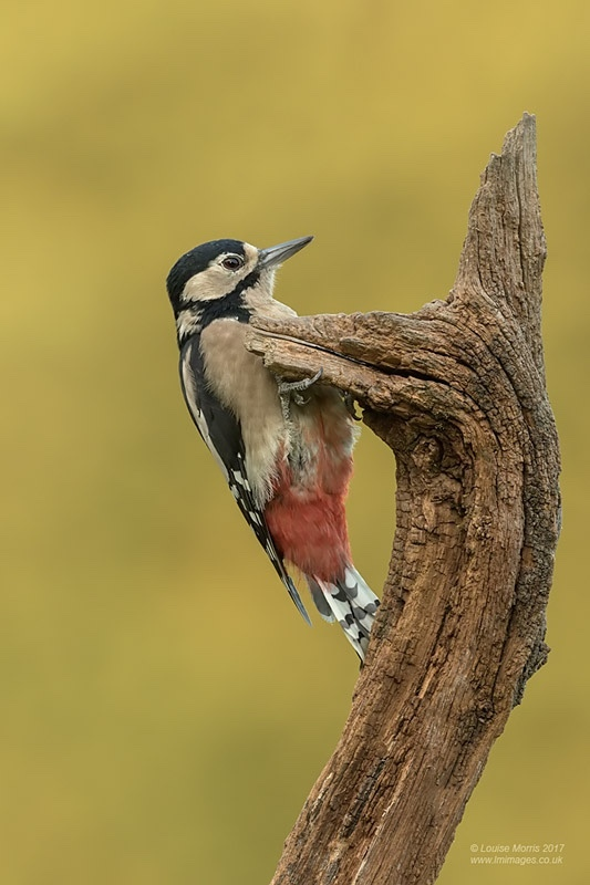 - Woodpeckers