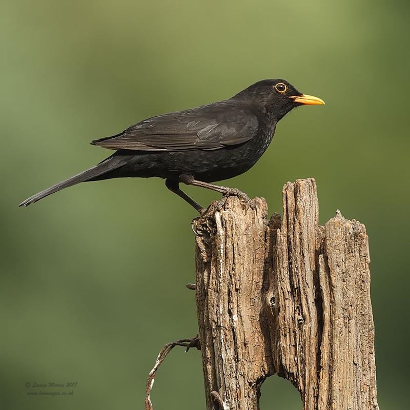 - Woodland & Garden Birds