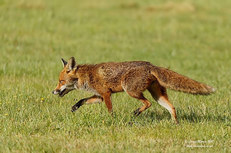 - Foxes
