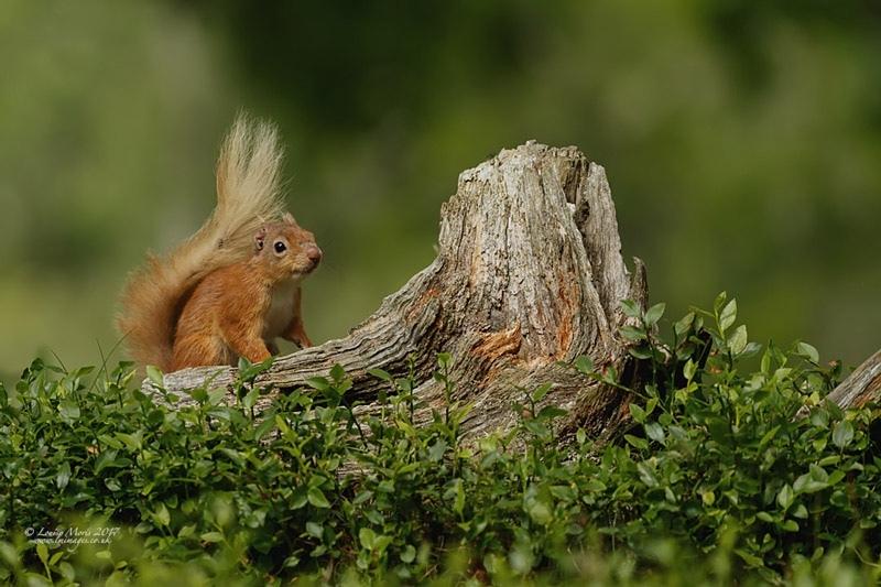 - Red Squirrels