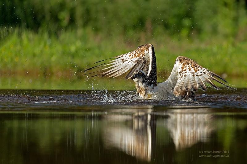 - Ospreys