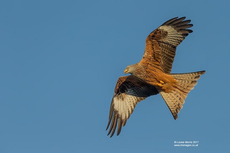 - Red Kites