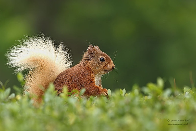J Red Squirrel September - 2018 Charity Calendar