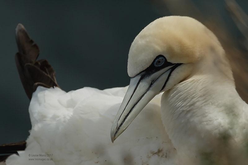 - Gannets