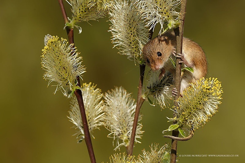 BHarvest Mouse January - 2018 Charity Calendar