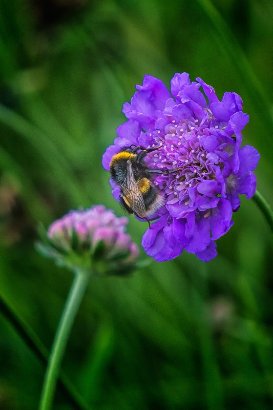 Bee on a Scabious - wildlife
