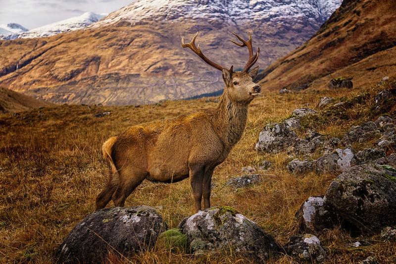 My Monarch of the glen - wildlife