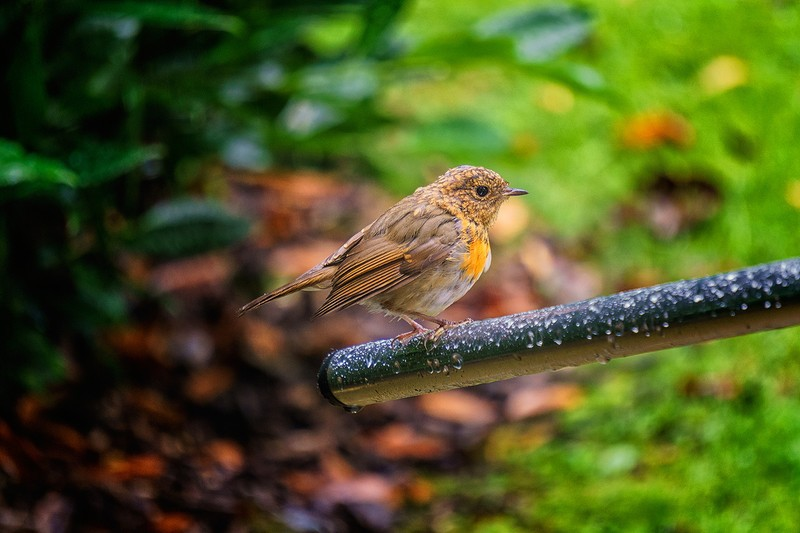 Robin after the rain - wildlife