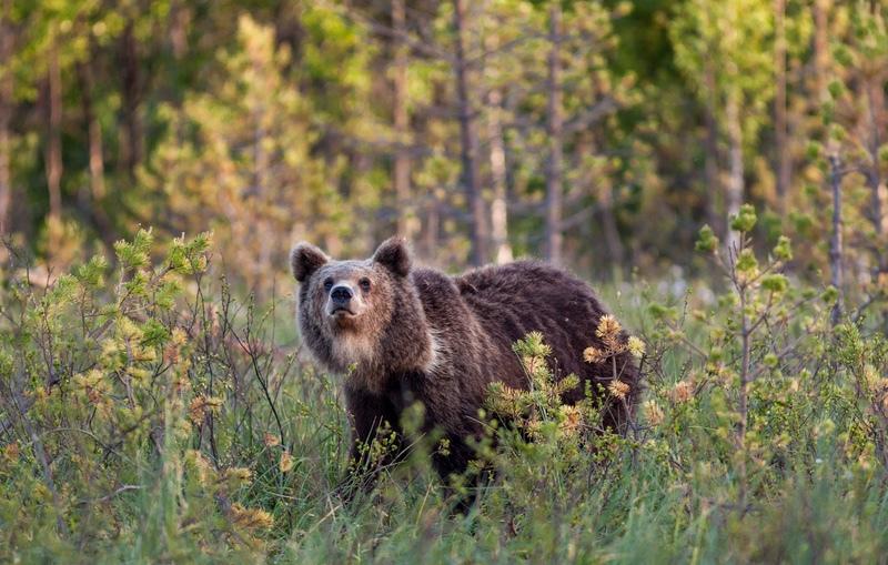 European Brown Bear, Martinselkonen - Finland