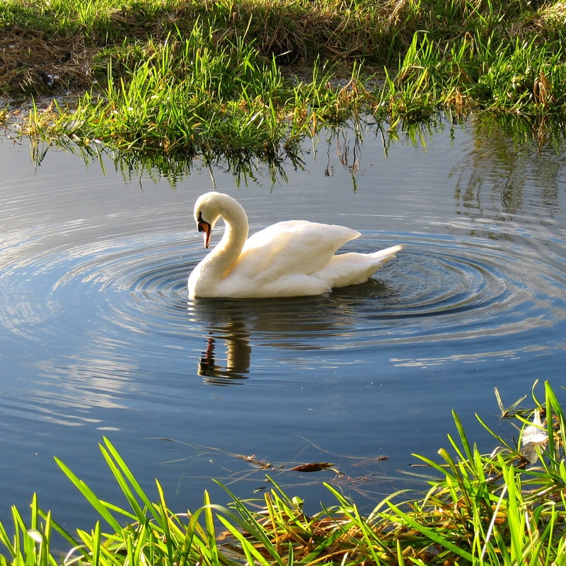 Swan and Ripples, RSPB Rye Meads - Hertfordshire