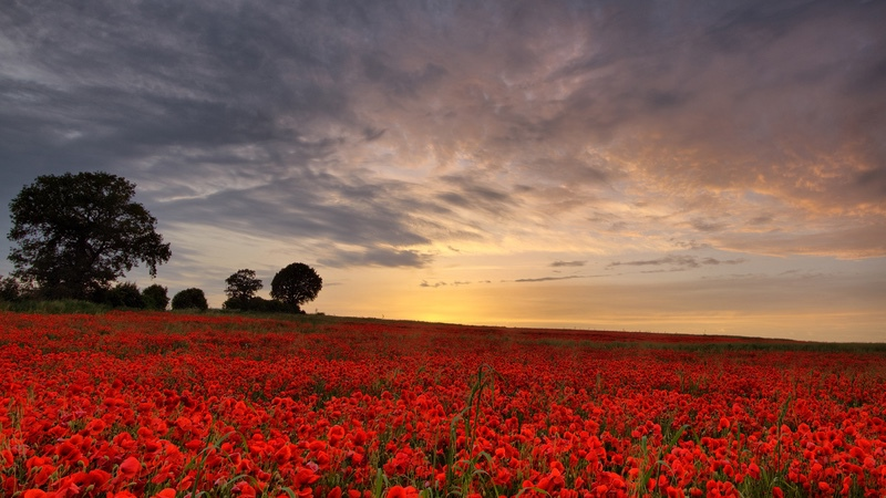 Sunset over a Poppy Field, Heartwood Forest - Hertfordshire