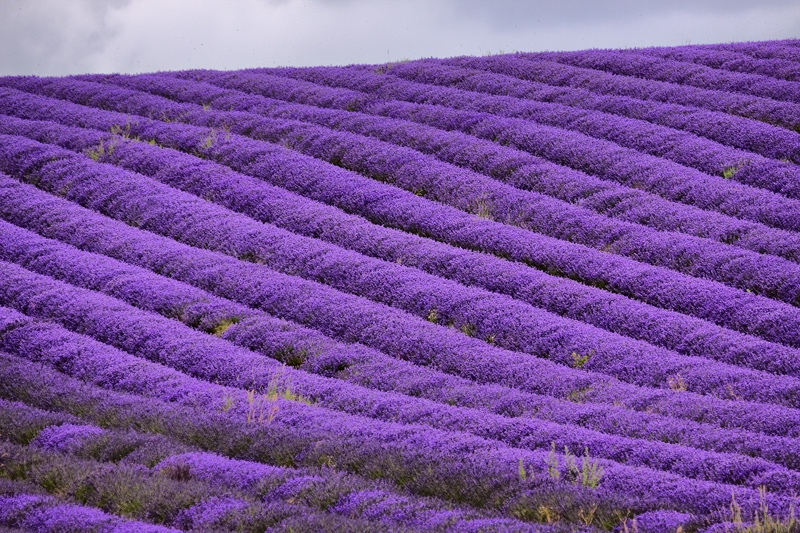 Rows of Lavender, Hitchin Lavender Farm - Hertfordshire