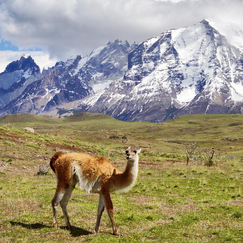 Guanaco, Chile - Patagonia