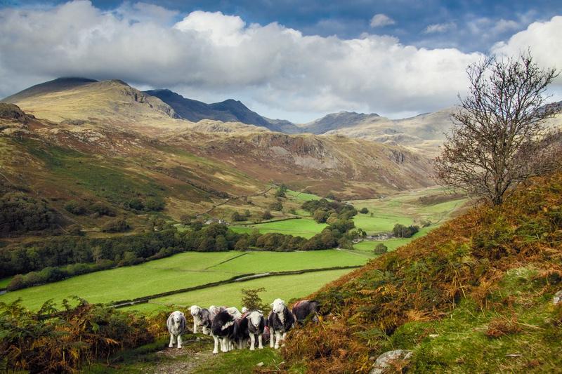 Herdwicks in Eskdale - The Lake District