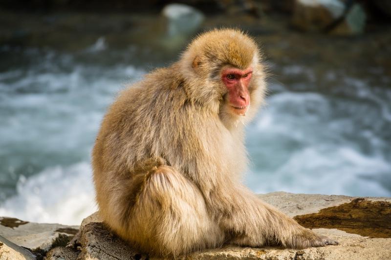 Snow Monkey, Japan - Japan