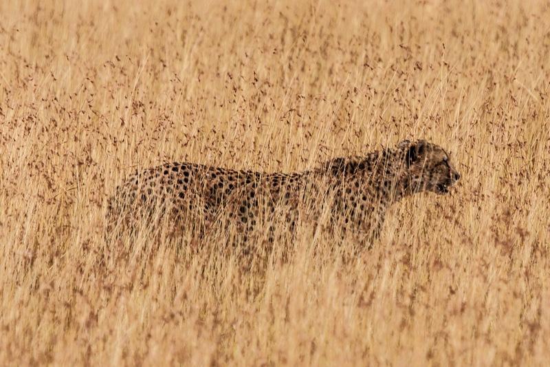 Cheetah, Kenya - Kenya