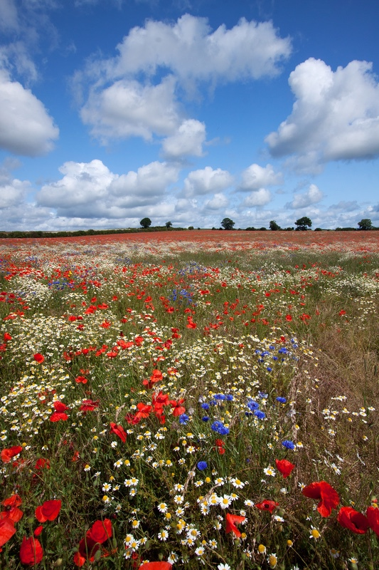 Wildflower Meadow at Heartwood Forest - Hertfordshire