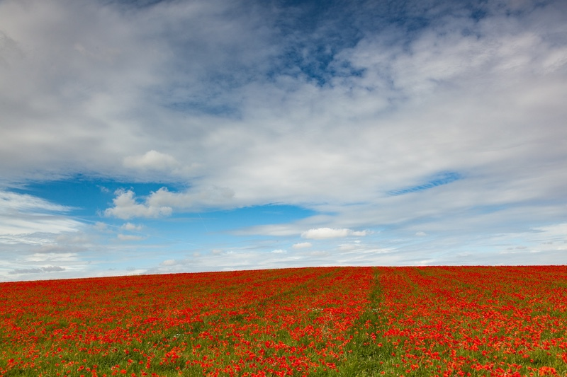 Poppy Field, Hitchin - Hertfordshire