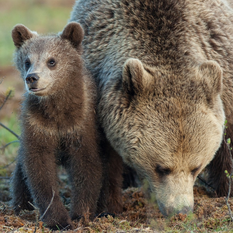Mother & Cub - Finland