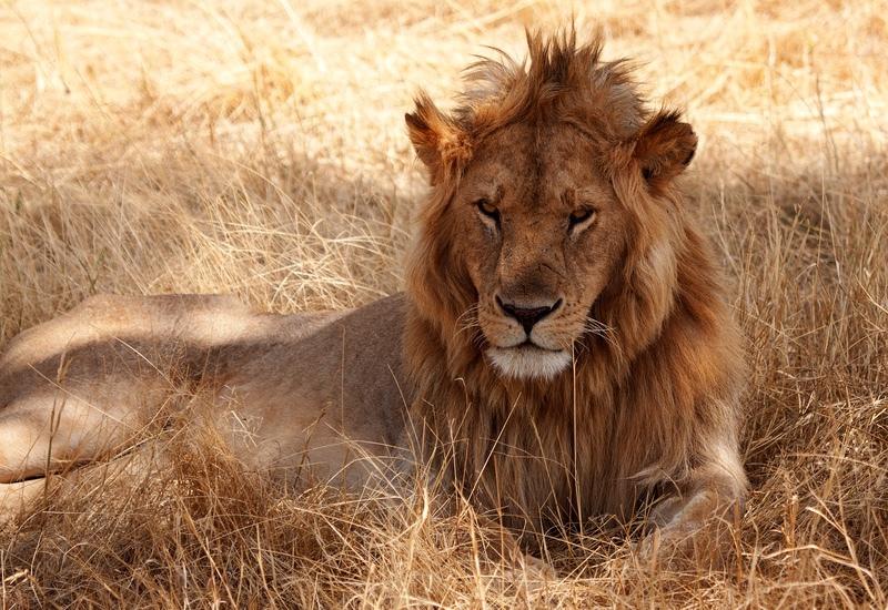 Lion, Kenya - Kenya