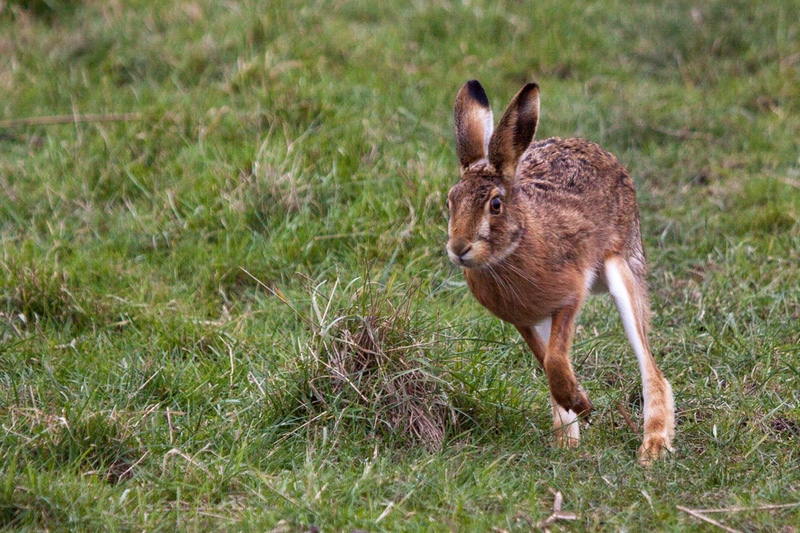 Brown Hare, Welney, Cambridgeshire - Beds, Bucks, Cambridge, & Cornwall