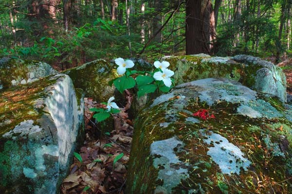 Trilliums In The Rocks - NATURE'S GARDEN