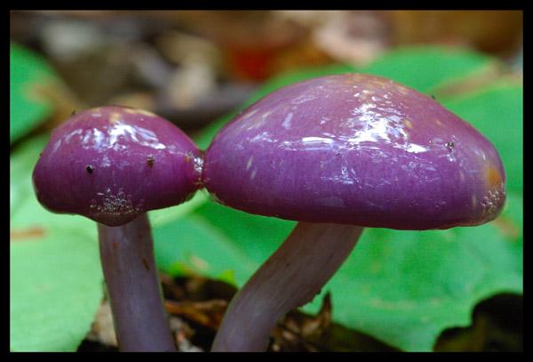 Viscid Violet Cort - NATURE'S GARDEN
